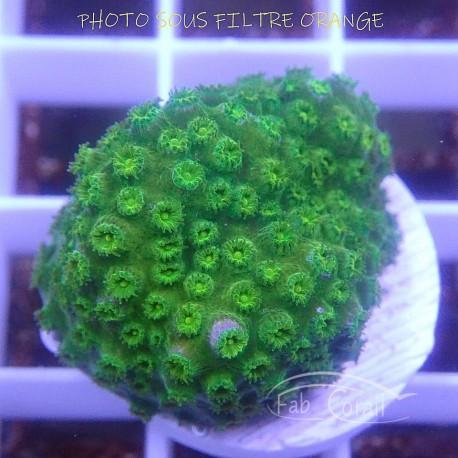 Cyphastrea Polype vert cypha20