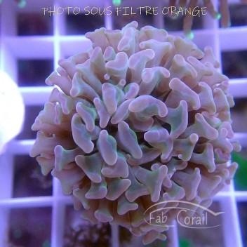 Euphyllia parancora euphy1142