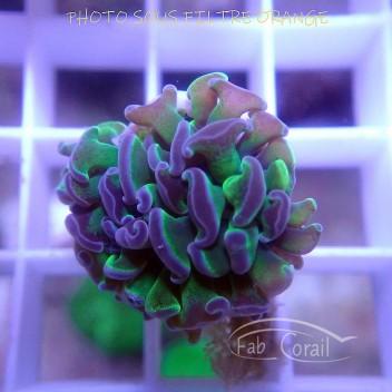 Euphyllia parancora euphy1145