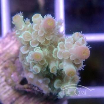 Acropora tenuis acro3111