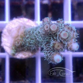 Acropora millepora acro3115