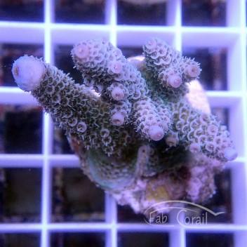 Acropora millepora acro3118
