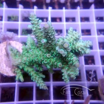 Acropora tenuis special filtre Indo acro3132