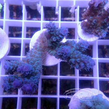 Acropora tenuis bleu foncée australie acro3146