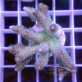 Acropora tenuis turquoise australie acro3154