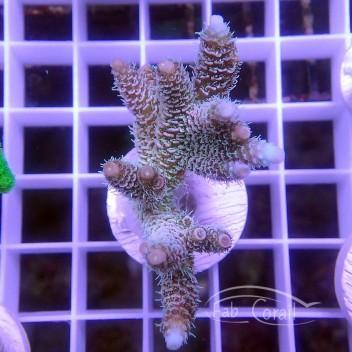 Acropora millepora ndonésie acro3155