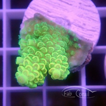 Acropora tenuis Indonésie acro3161