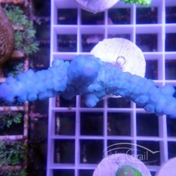 Acropora gomezi Indonésie acro3166