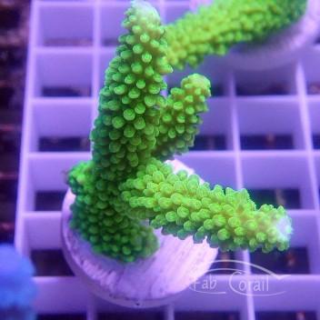 Acropora formosa Indonésie acro3174