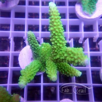 Acropora formosa Indonésie acro3176