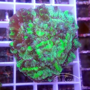 Australophyllia wilsoni wilsoni94