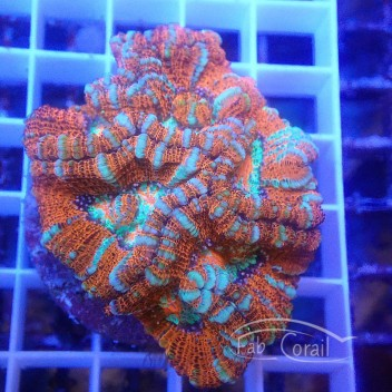 Australophyllia wilsoni wilsoni95