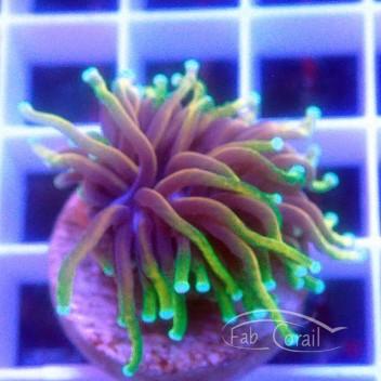 Euphyllia glabrescens special filtre hellfire Indonésie euphy1130