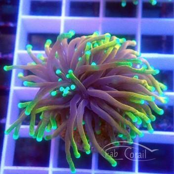 Euphyllia glabrescens special filtre hellfire Indonésie euphy1132