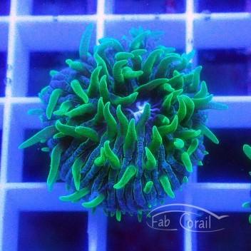 Cycloseris bleu vert (mini-fungia) fungia103