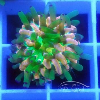 Cycloseris rainbow fungia140