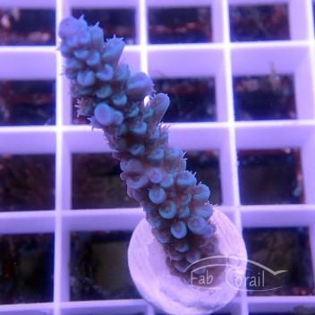 Acropora tenuis Australie acro3213