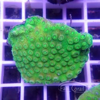 Asteropora vert Indonésie