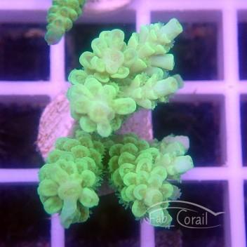 Acropora tenuis Indonésie acro3344