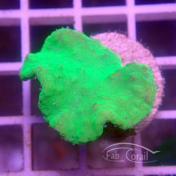 Sinularia dura vert sinu120