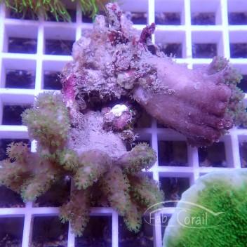Sinularia dura vert sinu121