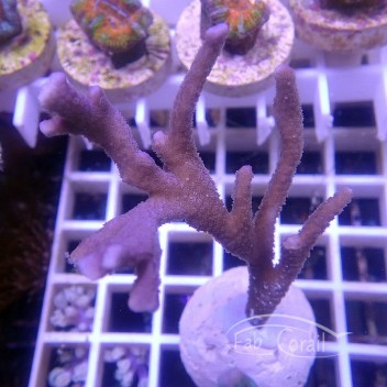 Montipora digitata polype violet monti972