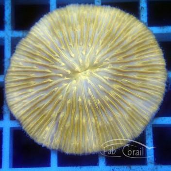 Fungia orange fungia174