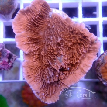 Montipora foliosa rouge monti939