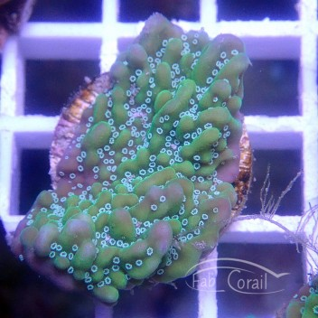 Montipora undulata monti983