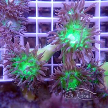 Duncanopsammia axifuga dunca95