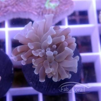 Euphyllia parancora euphy1245