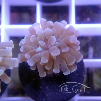 Euphyllia parancora euphy1246
