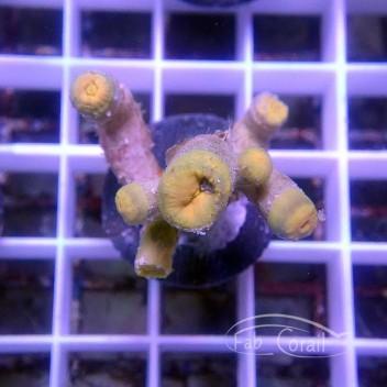 Dendrophyllia jaune