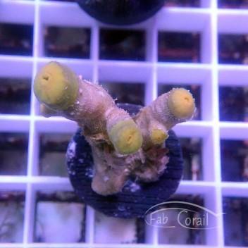 Dendrophyllia rare jaune