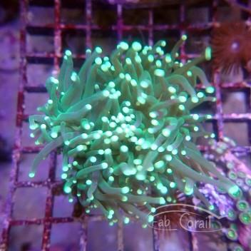 Euphyllia glabrescens vert indonésie euphy1208