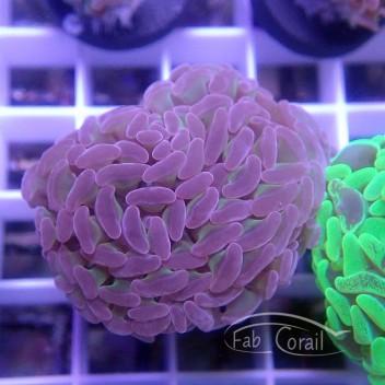 Euphyllia parancora blotchy euphy1256