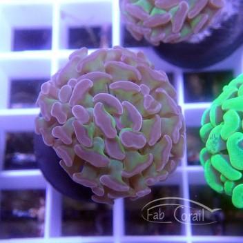 Euphyllia parancora euphy1261