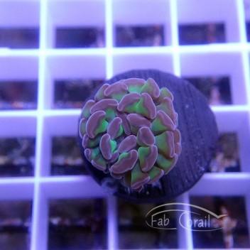 Euphyllia parancora euphy1262