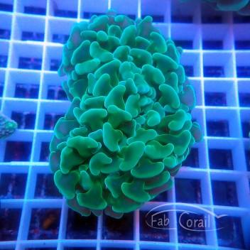 Euphyllia ancora euphy1270