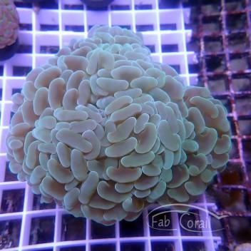 Euphyllia ancora euphy1271