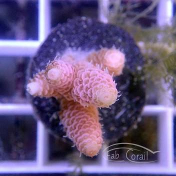 Acropora millepora acro3488