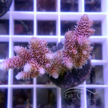 Acropora millepora acro3489