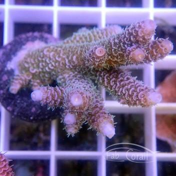 Acropora millepora acro3491