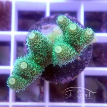 Acropora millepora acro3493