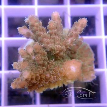 Acropora natalensis acro3495