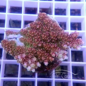 Acropora microclados Indonésie acro3496
