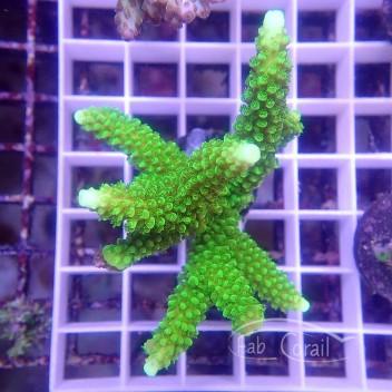 Acropora sp australie acro3499