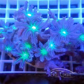 clavularia coeur vert clavu127