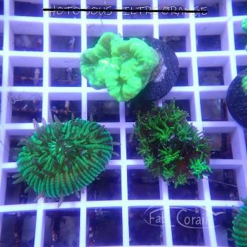 Caulastrea vert caula218