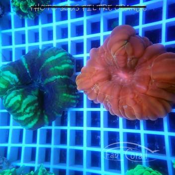 Cynarina lacrymalis rouge cyna69